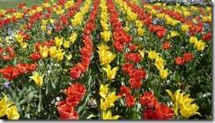 01 tulipani
