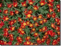 06 tulipani