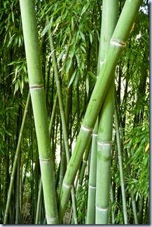 61 bambus