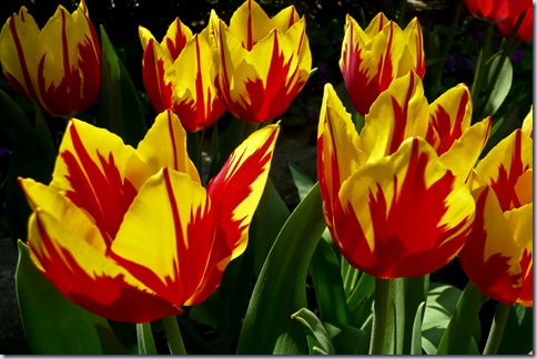 rumeno-rdeča