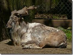 vitoroga koza