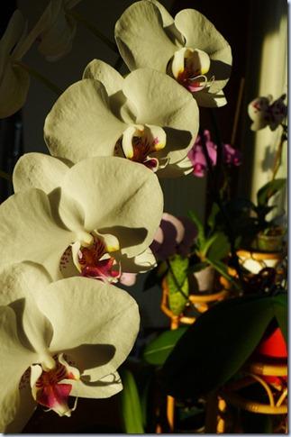 orhideje 06