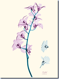 X-ray Orchid