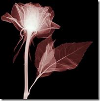 Flowers X-rays