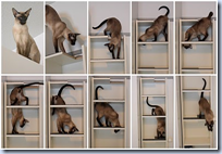 Billy cat climbing shelf