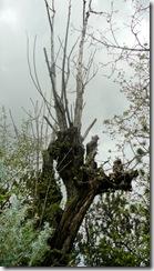 41 drevo