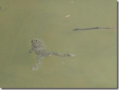 42 žaba