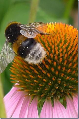 čebele na ameriškem slamniku